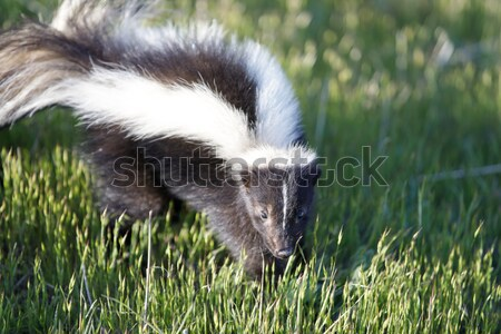 Gestreept stinkdier naar alarm Californië Stockfoto © yhelfman