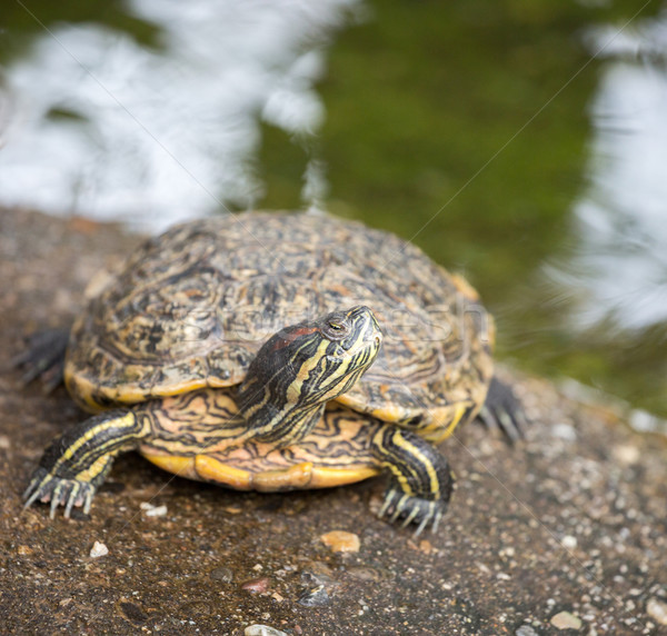 Red-eared Slider - Trachemys scripta elegans Stock photo © yhelfman