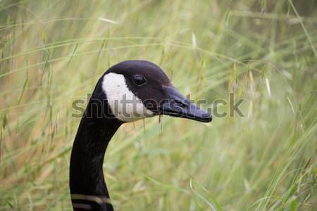 Canada Goose - Branta Canadensis, head-shot Stock photo © yhelfman