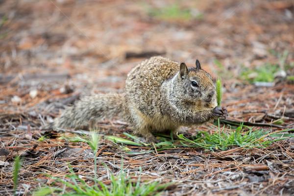 California Ground Squirrel Stock photo © yhelfman