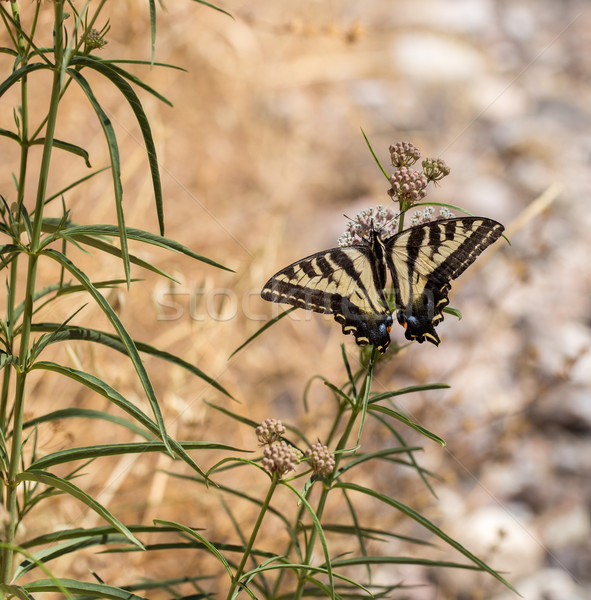 Anise Swallowtail - Papilio zelicaon - feeding off flower nectar Stock photo © yhelfman