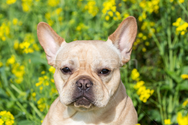 Young French Bulldog Headshot Stock photo © yhelfman