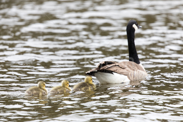 Canada Goose with Goslings (Branta Canadensis) Wading in formation. Stock photo © yhelfman