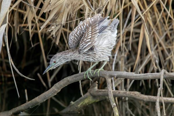 Black Crowned Night Heron (Nycticorax nycticorax) Juvenile hunting. Stock photo © yhelfman