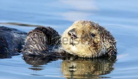 Curious Sea Otter (Enhydra lutris) floating in Santa Cruz Harbor. Stock photo © yhelfman