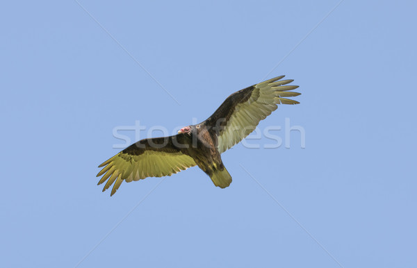 Turkey Vulture (Cathartes aura) Gliding with Wings Spread. Stock photo © yhelfman