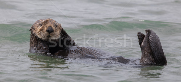 Curious Sea Otter (Enhydra lutris) floating  in Monterey Bay of the Pacific Ocean. Stock photo © yhelfman