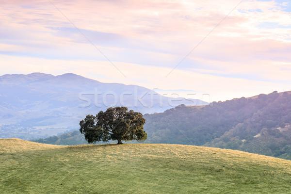 Lone Oak Tree in Bay Area Landscape. Stock photo © yhelfman