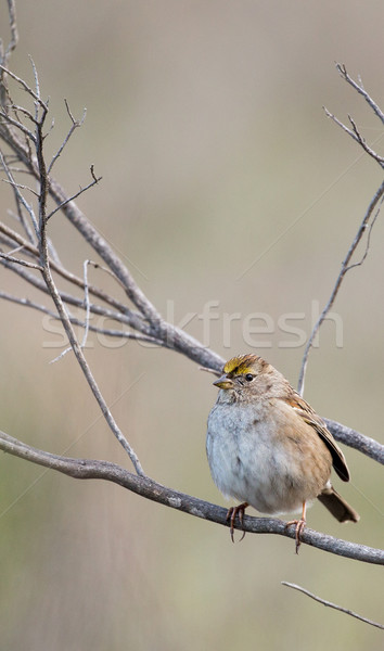 Pardal primeiro inverno árvore pássaro animal Foto stock © yhelfman
