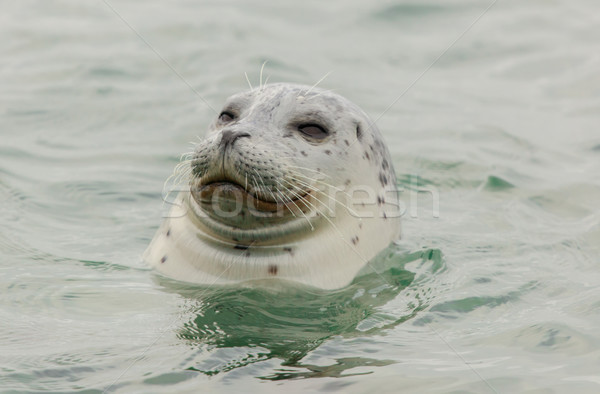 Curious Harbor Seal (Phoca vitulina) in the Pacific Ocean. Stock photo © yhelfman