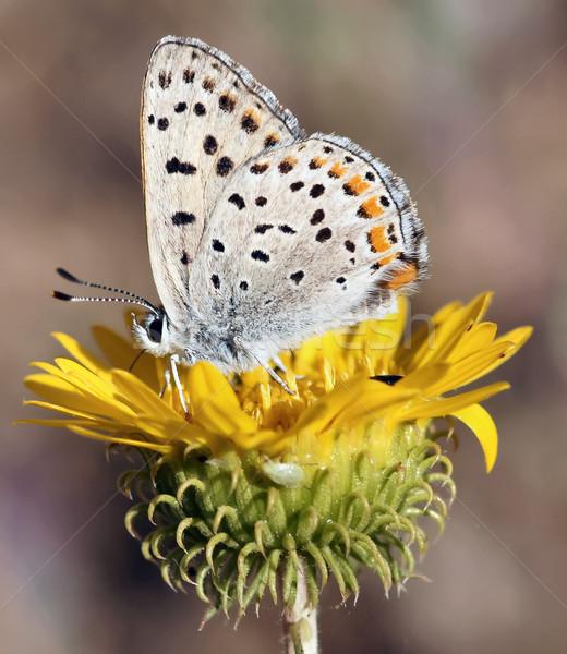 Califórnia borboleta flor amarela família verão verde Foto stock © yhelfman