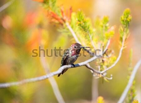 Beija-flor ramo colorido jardim jóias Foto stock © yhelfman