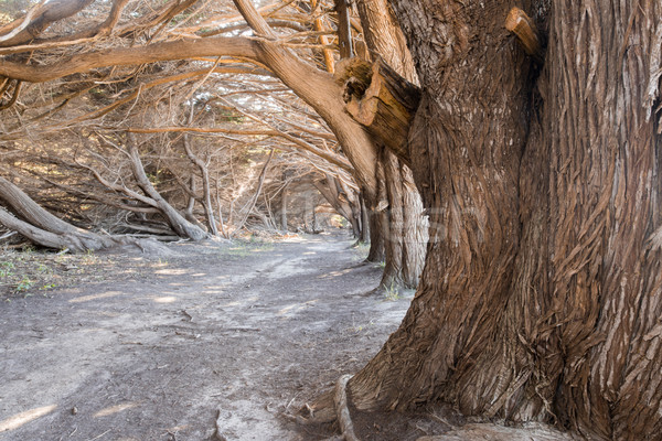 Cypress Grove Tunnel. Stock photo © yhelfman