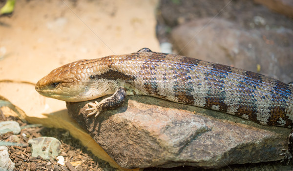 Blue-tongued Skink (Tiliqua scincoides) Stock photo © yhelfman