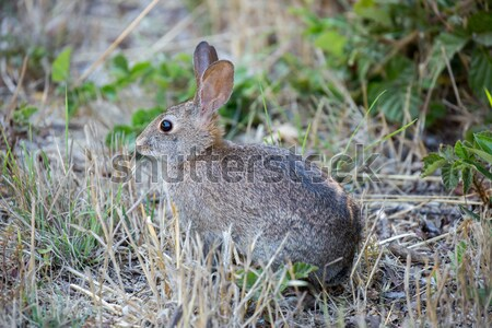 Alert Cottontail Rabbit - Sylvilagus Stock photo © yhelfman