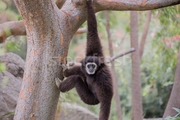 белый примат семьи один дерево ребенка Сток-фото © yhelfman