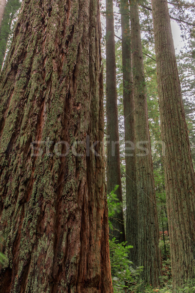 Redwood Grove. Stock photo © yhelfman