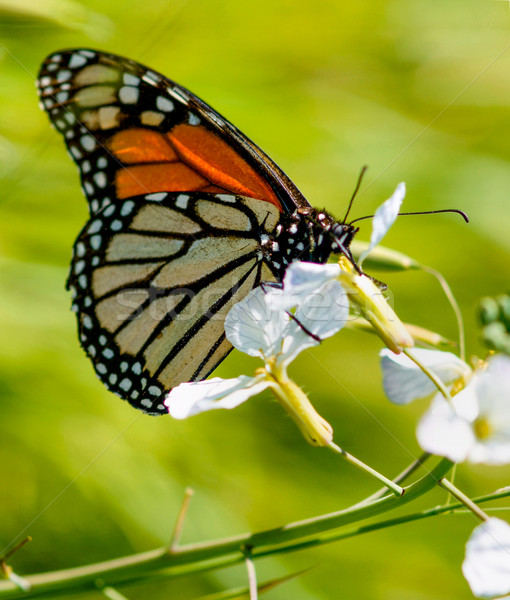 Monarch butterfly drinks flower nectar Stock photo © yhelfman