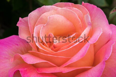 Rose Peach hybride thé rose floraison Photo stock © yhelfman