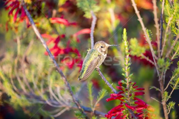 Beija-flor ramo colorido jardim Califórnia Foto stock © yhelfman