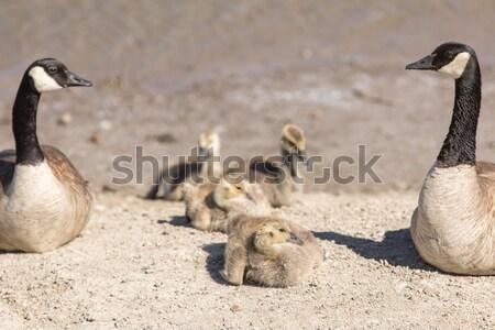 Canada Geese (Branta Canadensis) Parents Watching Goslings Stock photo © yhelfman