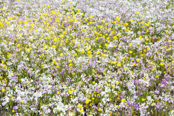 California Wildflowers in Bloom. Stock photo © yhelfman