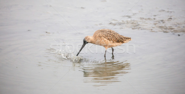 Long-billed Dowitcher - Limnodromus scolopaceus Stock photo © yhelfman