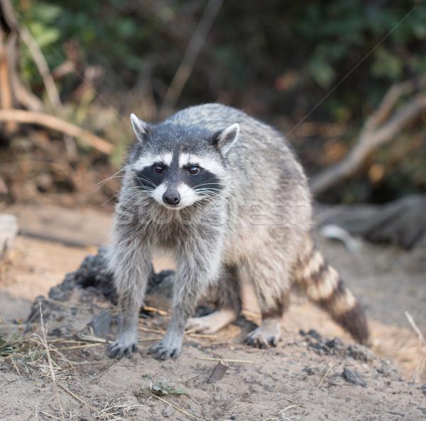 Raccoon, Procyon lotor (harvest) portrait Stock photo © yhelfman