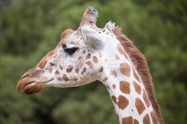 Reticulated Giraffe (Giraffa camelopardalis reticulata) Stock photo © yhelfman