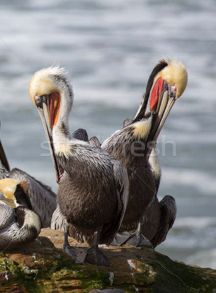 A Pod of Brown Pelicans, Pelecanus occidentalis Stock photo © yhelfman