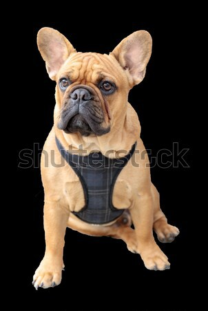 French Bulldog Puppy Male Brown Sitting Stock photo © yhelfman