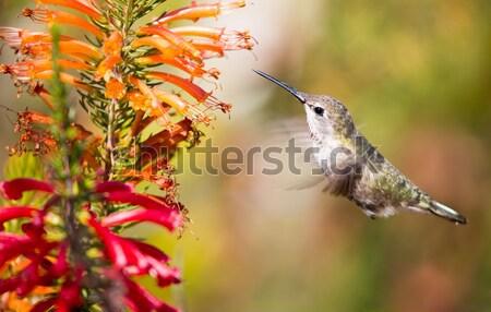 Anna's Hummingbird - Calypte anna. Santa Cruz, CA Stock photo © yhelfman