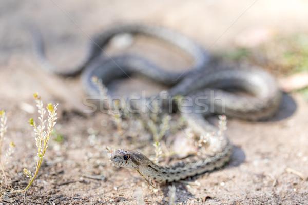 Yılan yetişkin zemin Evcil makro Stok fotoğraf © yhelfman