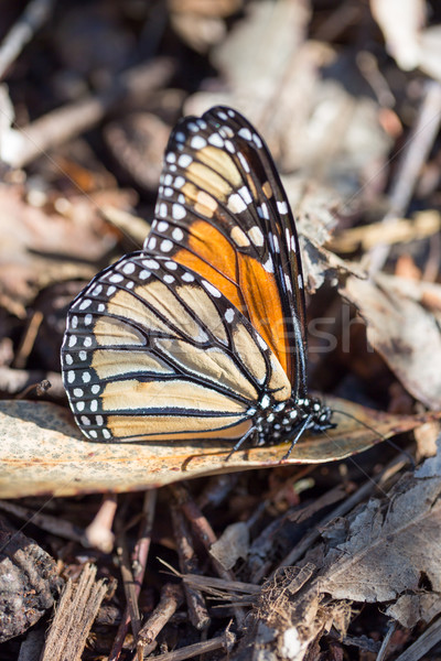 Monarch butterfly perched on a dry leaf Stock photo © yhelfman