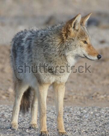 Portret ochtend woestijn dood vallei park Stockfoto © yhelfman