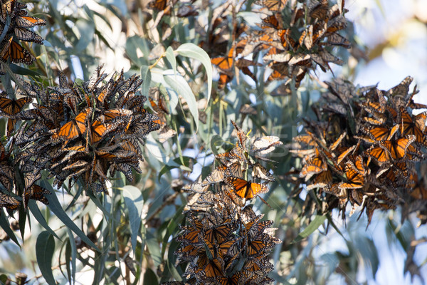 Cluster of Monarch Butterflies (Danaus plexippus). Monarch Grove Sanctuary, Pacific Grove, Californi Stock photo © yhelfman