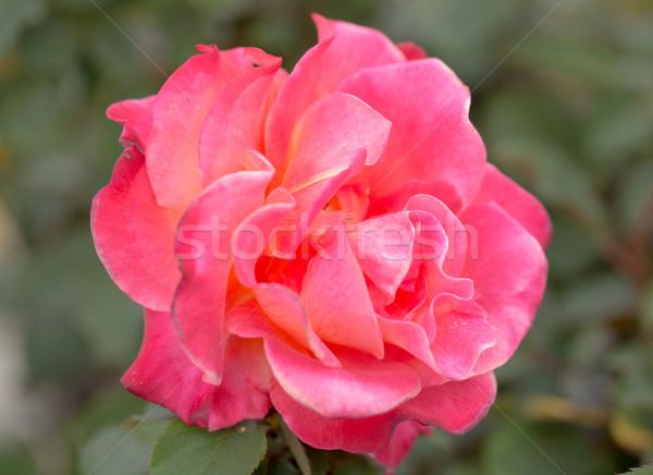 Damask rose - Rosa damascena Stock photo © yhelfman