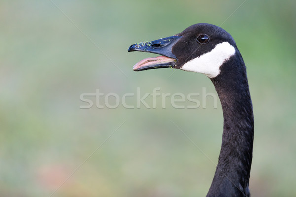 Hissing Canada Goose (Branta Canadensis) Stock photo © yhelfman