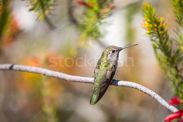 Hummingbird филиала красочный саду ювелирные Сток-фото © yhelfman