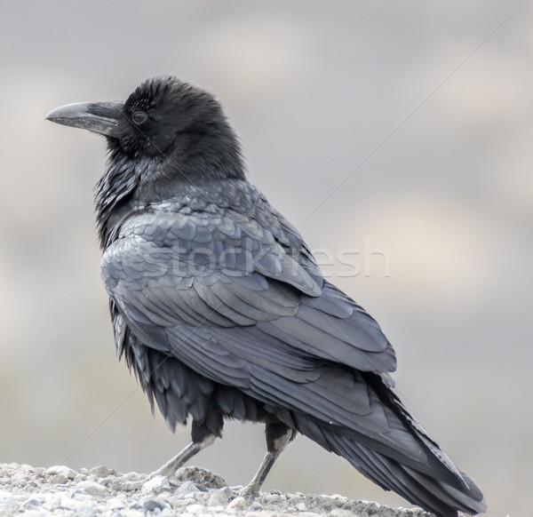 Raaf noordelijk volwassen portret groot vogel Stockfoto © yhelfman