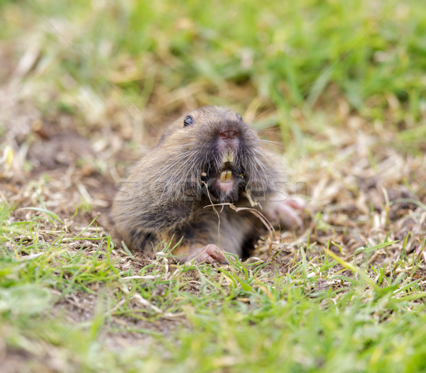 Valley Pocket Gopher (Thomomys bottae) emerging from the burrow. Stock photo © yhelfman