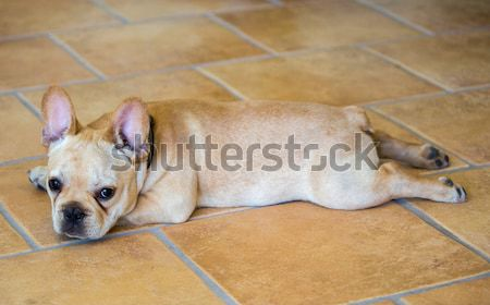 French Bulldog Puppy - Canis lupus familiaris Stock photo © yhelfman
