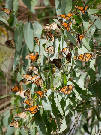 Stock photo: Monarch Butterflies (Danaus plexippus)