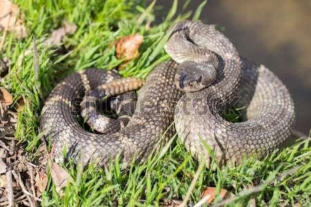 Northern Pacific Rattlesnake - Crotalus oreganus oreganus Stock photo © yhelfman