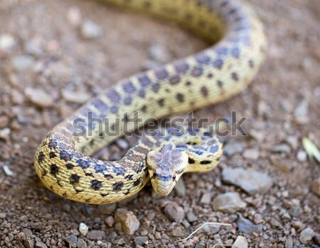 Pacific Gopher Snake - Pituophis catenifer catenifer, adult in defensive posture, Santa Cruz Mountai Stock photo © yhelfman