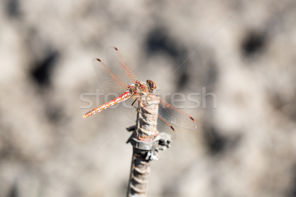 Variegated Meadowhawk (Sympetrum corruptum) dragonfly Stock photo © yhelfman
