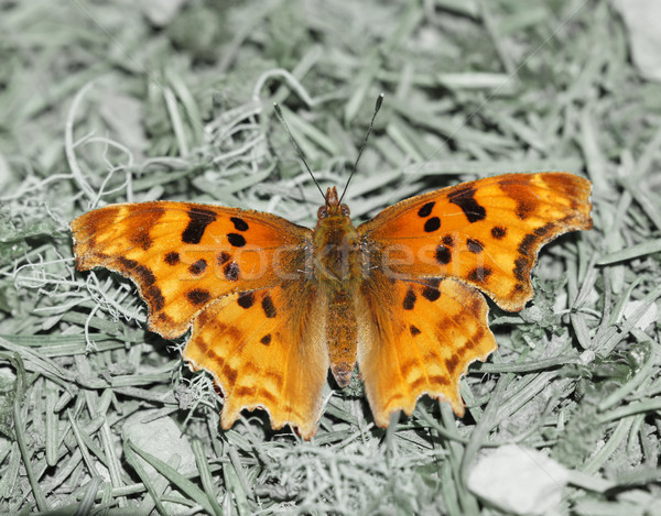 Satyr Comma (Polygonia satyrus) perched on woodland floor. Stock photo © yhelfman