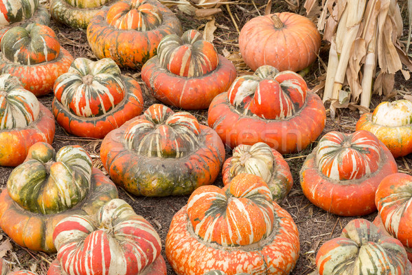 Turban Squash in a Pumpkin Patch in Northern California Stock photo © yhelfman