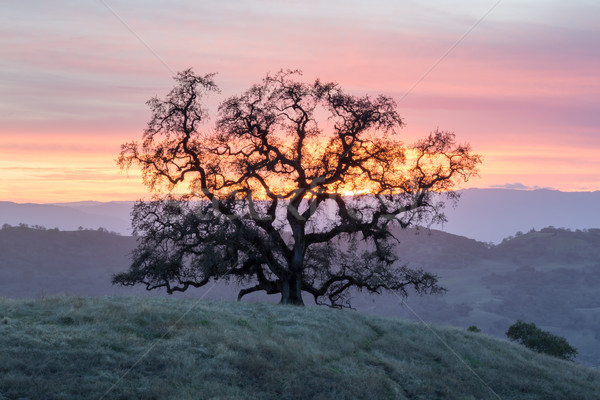 Sunset Oak Tree Silhouette Stock photo © yhelfman