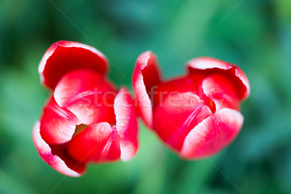 Tulip - tulipa Stock photo © yhelfman